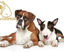 強面顔のひょうきん者 ボクサー犬写真館