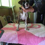 ボクサー犬の女の子 | 両親ともにJKCチャンピオン