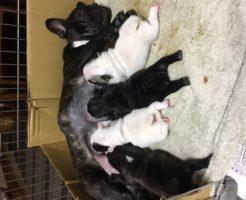フレンチブルの赤ちゃん | 8頭誕生しています