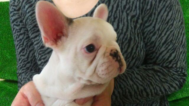 耳が立ってますます可愛く | 平成29年1月22日生まれのフレンチブルドッグ