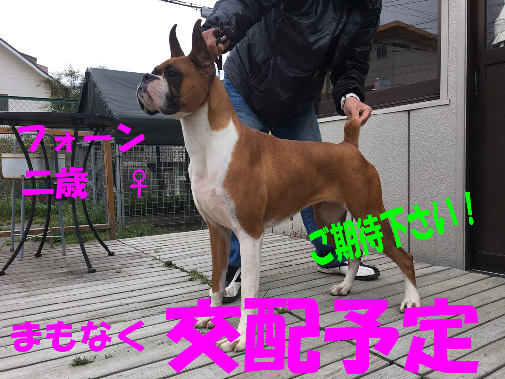 交配予定のボクサー犬
