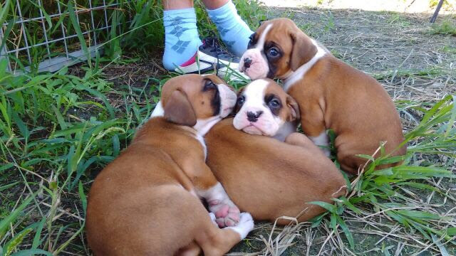 アメリカンボクサーの子犬 | 生後28日