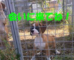 アメリカンボクサーの子犬 | 生後50日