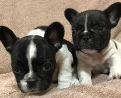 フレンチブルドッグ子犬 2018年11月23日生まれの女の子