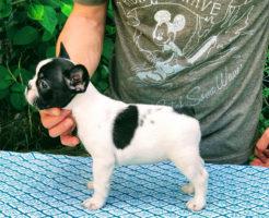 ヨーロッパラインのフレンチブル仔犬 令和元年5月5日生まれ | 雄1頭、雌2頭