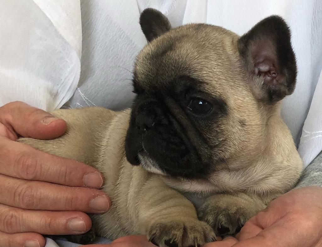 フレンチブル子犬 | 令和2年1月20日生まれ フォーン&ブリンドル