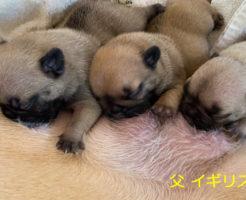 フレンチブルドックの子犬産まれました | 2020年8月15日生まれ