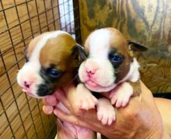 ボクサー犬の女の子 | 令和3年7月4日生まれ 優良血統です