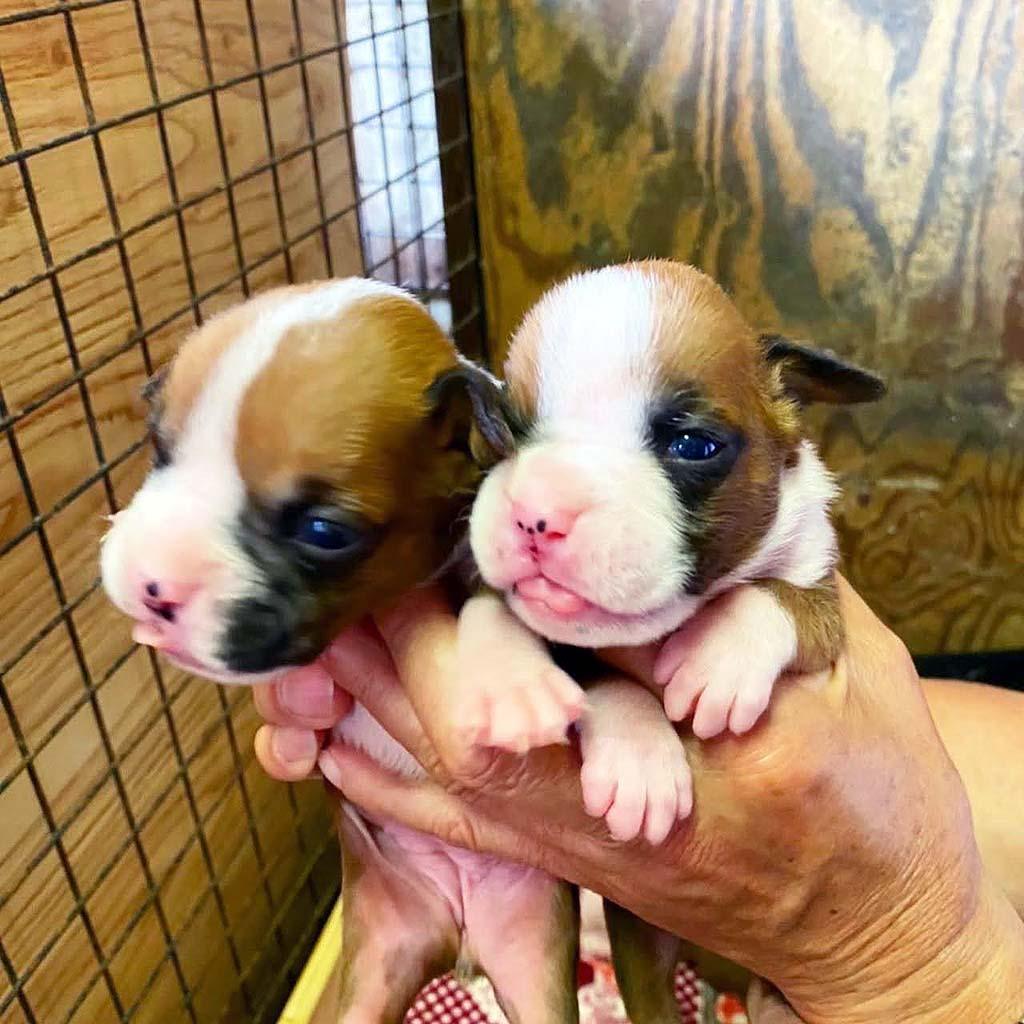 ボクサー犬の女の子   令和3年7月4日生まれ 優良血統です